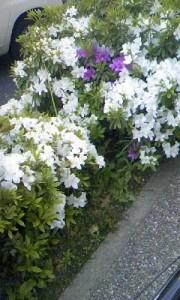 大津橋近くの歩道の白、紫のツツジ