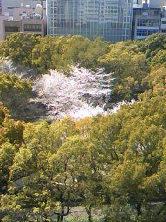 当社から見える桜です。