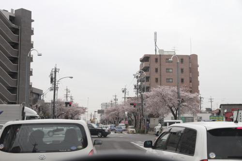 桜本町の桜001